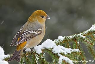 Pine Grosbeak-female In The Winter Storm- Mircea Costina