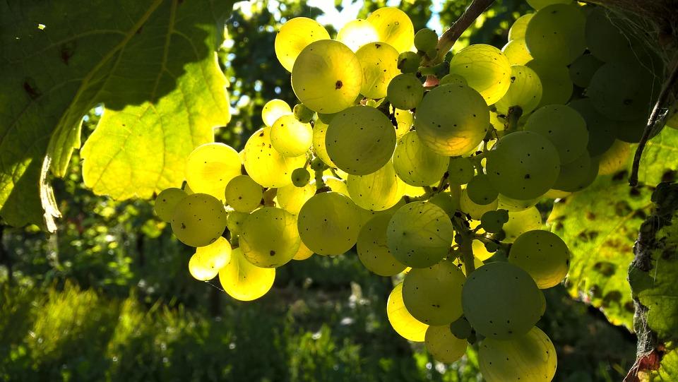 Viticultura biodinamica, recuperare a autenticitatii trecutului, dar si viitorul viticulturii