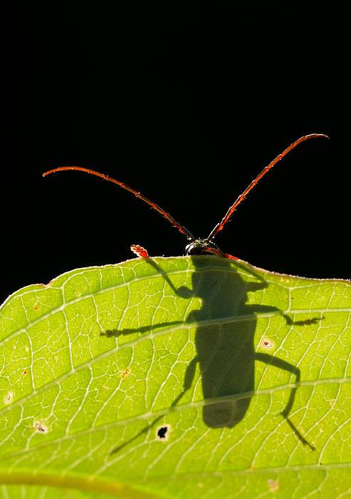 Locust Borer- Mircea Costina