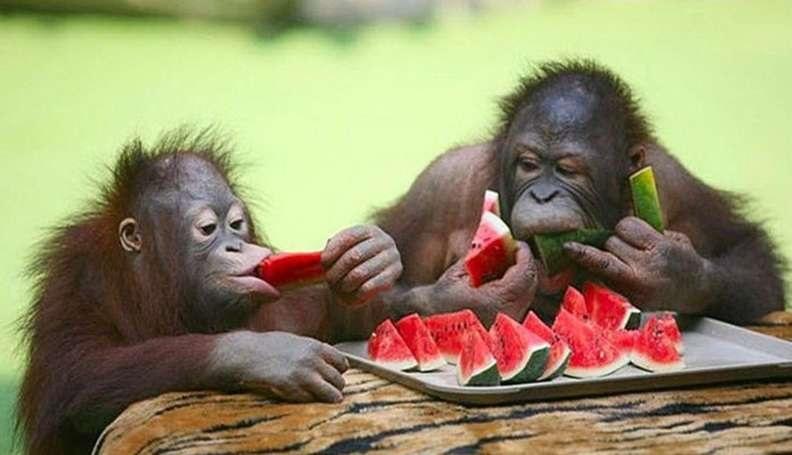 Remedii contra caldurii sufocante- maimute mancand lubenita