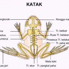 Labeled Frog Anatomy Diagram 2003 Dodge 2500 Stereo Wiring Sistem Rangka Katak | Ramacahyati