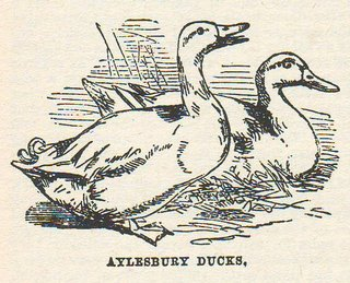 Victorian illustration of some ducks
