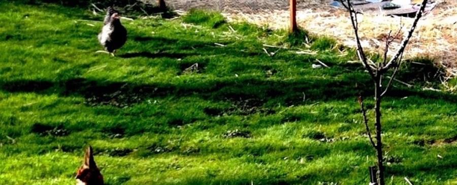 Backyard Garden with Chickens