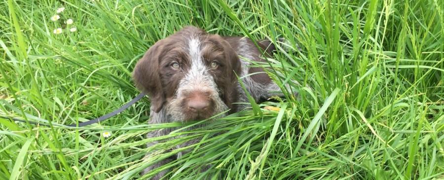 German Wirehaired Pointer puppy sitting in deep grass