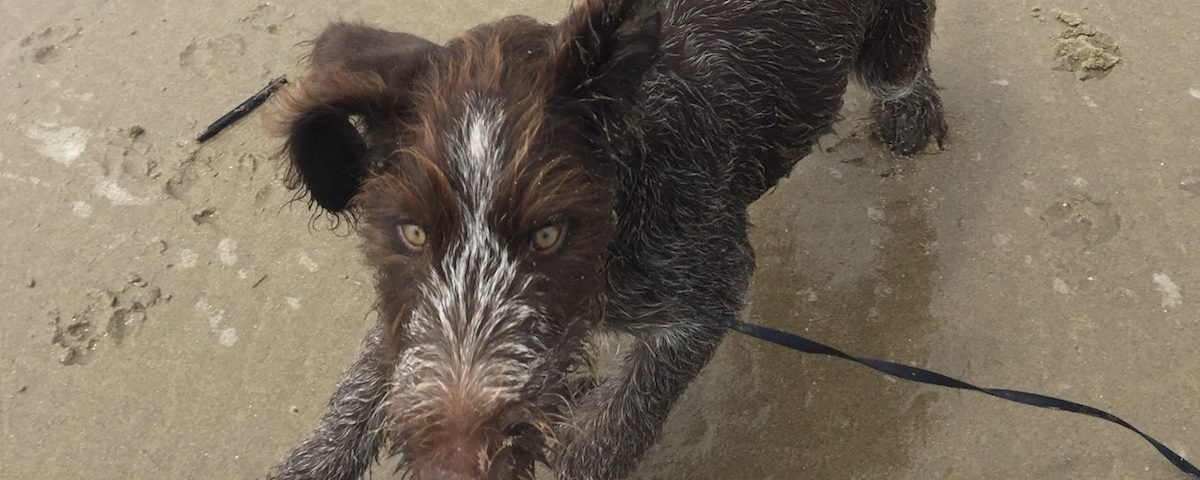 Before You Bring Home a German Wirehaired Pointer