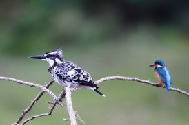Pied Kingfisher with Common Kingfisher on backdrop