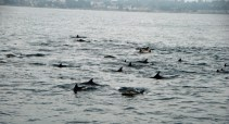 Lots of dolphins were in the bay.