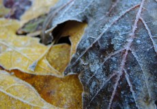 frosty-leaves-2