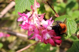 flowering-currant-bumblebee