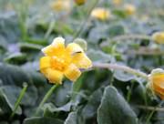 photo of frosty celandine