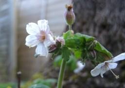 frosty-white-flower