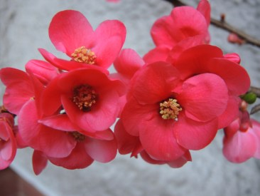 quince-blossom