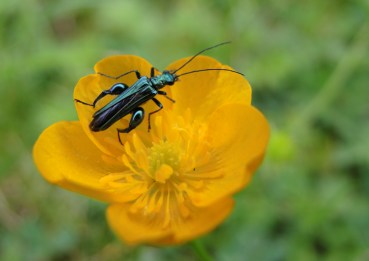 photo of flower beetle