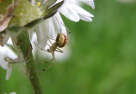 spider-daisy