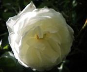 white-rose-2