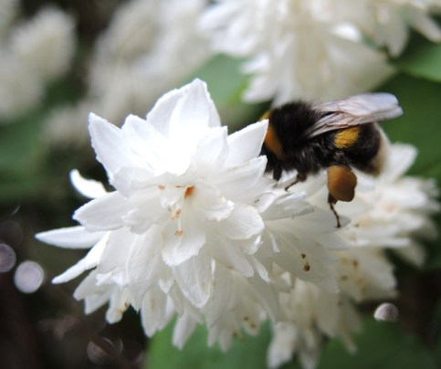 bee-white-blossom-3