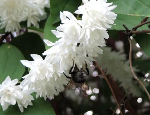 bee-white-blossom-5