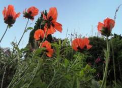 Photo of poppies