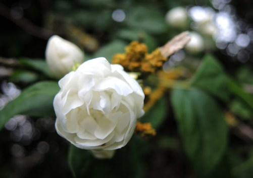 white-tree-rose-1