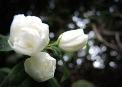 white-tree-rose-2