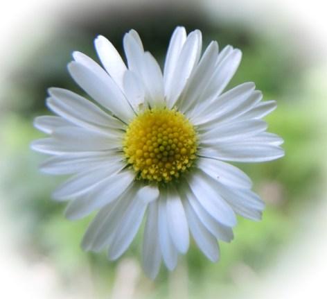 daisy-vignette