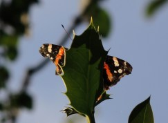 red-admiral-5
