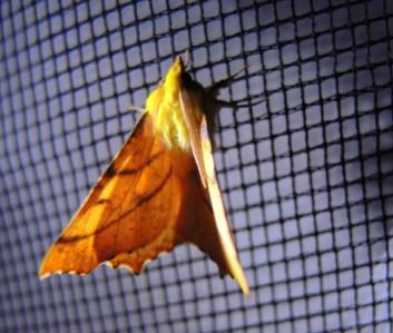 moth-yellow-2