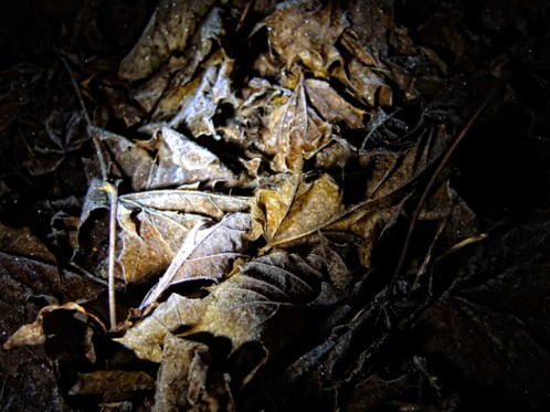 frosty-leaves-night-1