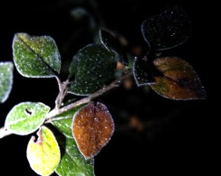 frosty-leaves-night-2