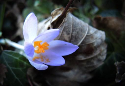 crocus-pollen