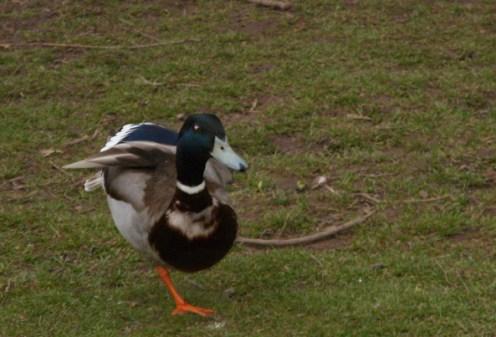 wye-duck-1-leg