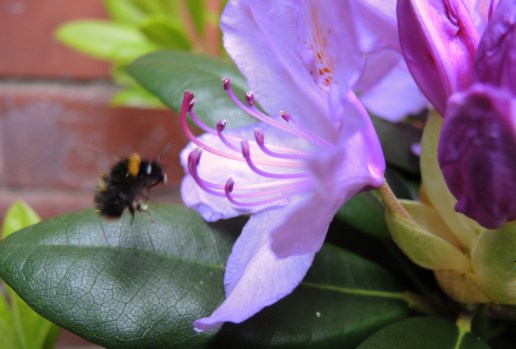 early-worker-bumble-rhod-1