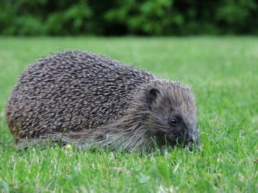 hedgehog-3