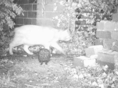 IMAG0009-hedgehog-cat