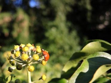ladybird-ivy-1-270915