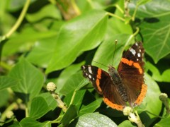 red-admiral-3-2015