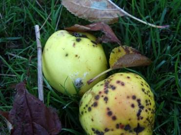 windfall-apples