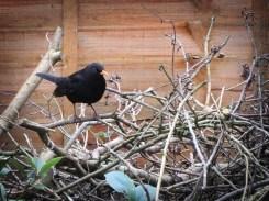 blackbird-25026-a