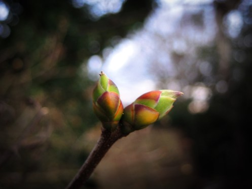 Photo of lilac buds