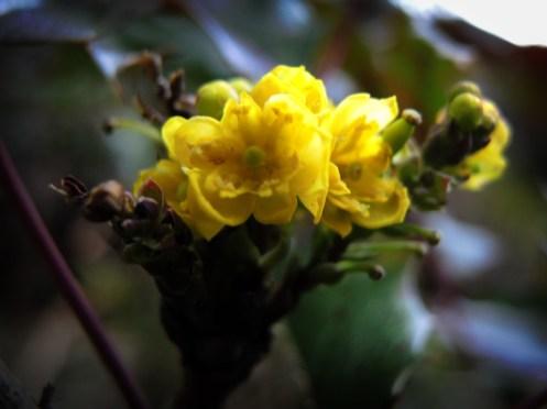 Photo of yellow Mahonia flower
