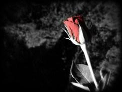 rose-DSCN3556-bw