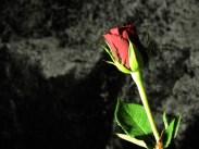 rose-DSCN3556