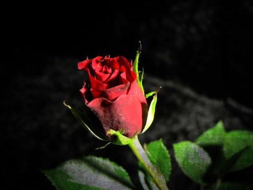 rose-DSCN3564-grunge
