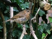 baby-robin-5