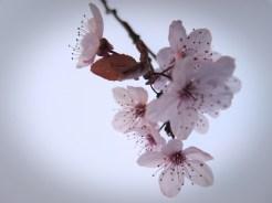 cherry-plum-backlit-2