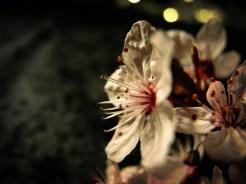 cherry-plum-bokeh-2