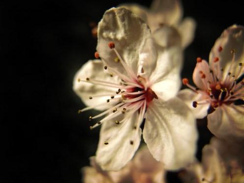 cherry-plum-cu
