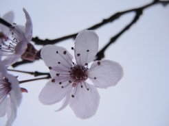 cherryplum-backlit
