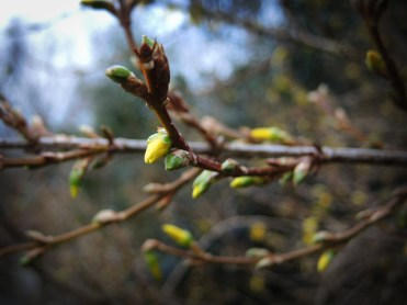 Photo of Forsythia buds