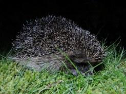 Photo of shy hedgehog
